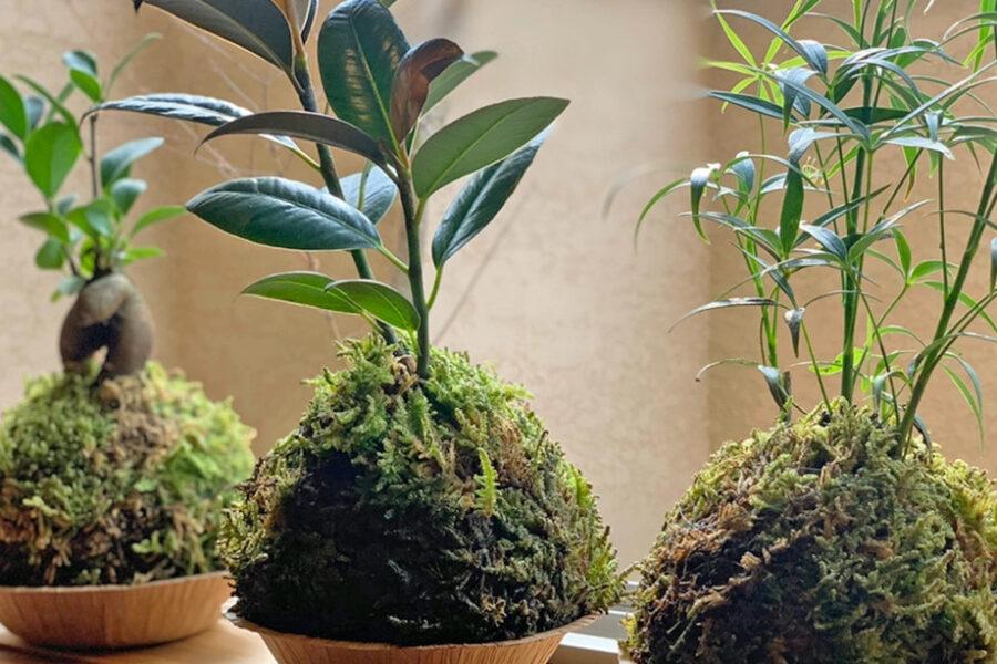 苔玉の起源は盆栽で用いられる「根洗い」という手法、<br /> 根がびっしり固まったものを鉢から抜いて鑑賞することで注目を集めています。