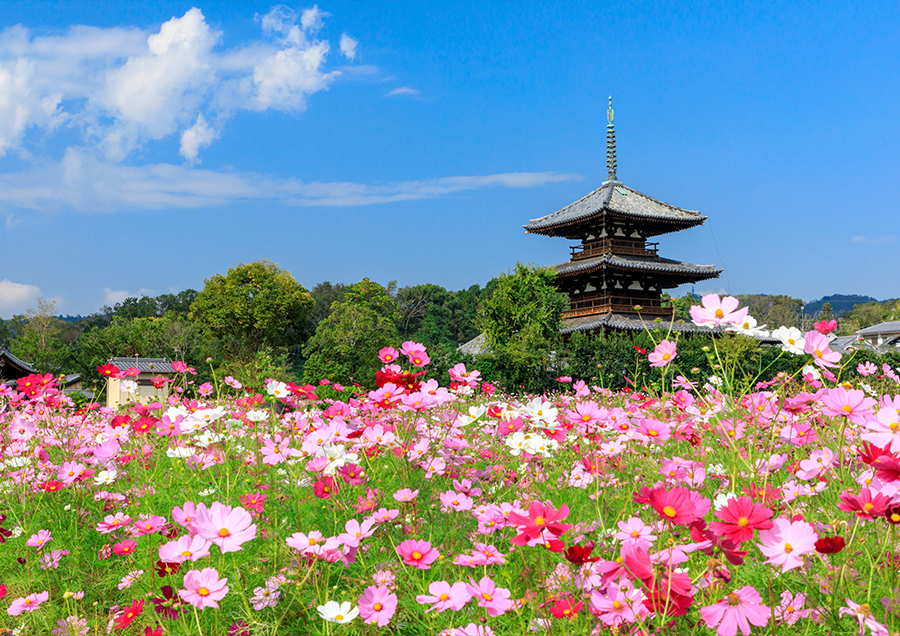 【法起寺周辺のコスモス(秋)】世界遺産を背景にコスモスを楽しめる、秋の斑鳩を代表する風景です。