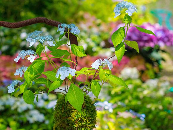 丸くて可愛い和の美「紫陽花(アジサイ)花苔玉」づくり