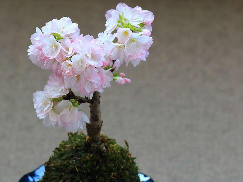 丸くて可愛い和の美「四季の花苔玉」づくり体験