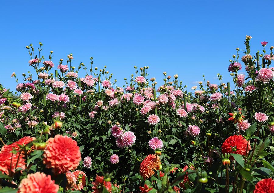 """【馬見丘陵公園のダリア(秋)】ダリアの球根生産量日本一の奈良県。奈良を代表する花の公園""""馬見丘陵公園""""では、約120品種1000株のダリアを楽しめます。"""