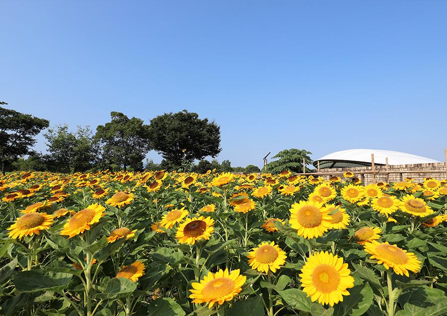 【馬見丘陵公園のひまわり(夏)】広い園内に約20種15万本ものひまわりが咲き誇り、圧巻の景色を楽しめます。
