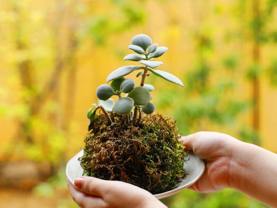 【丸くて可愛い和の美「季節の苔玉」づくり】植物を鉢に植える代わりに用土を丸め、苔を貼って仕立てた日本独自の鑑賞法。